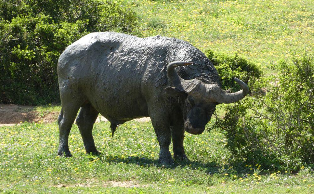 bueffel-addo-elephant-park