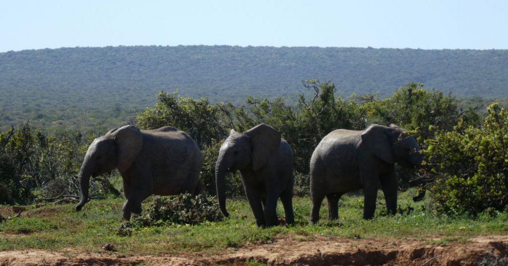 elefanten-addo-elephant-park_2