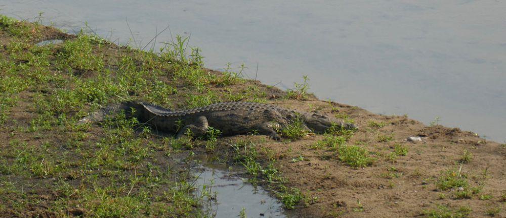 krokodil-kruger-national-park