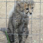 leopardenbaby-cangoo-wildlife-ranch