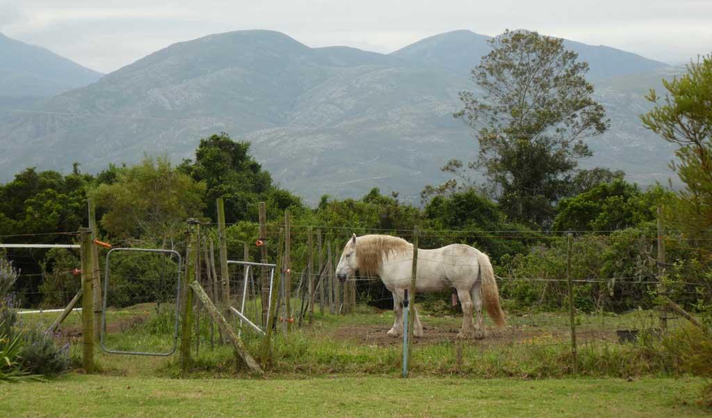 outeniqua-moon-percheron-stud-farm-ruiterbos-5