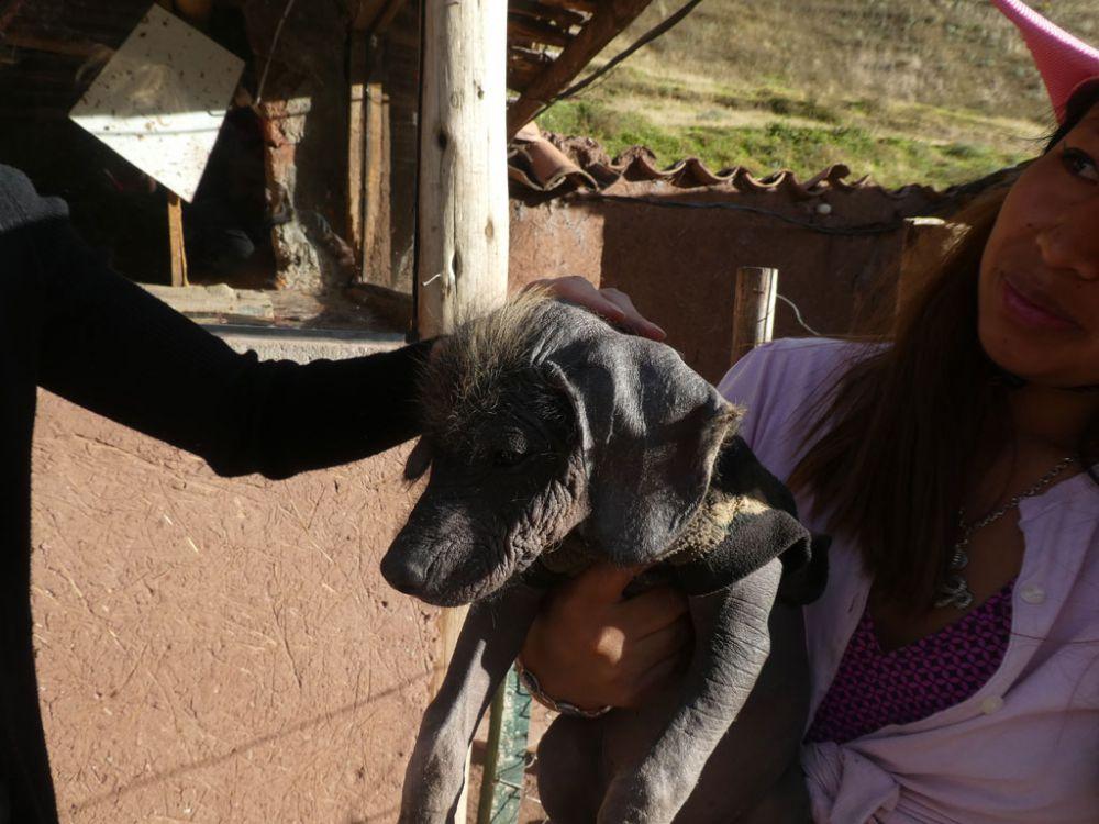 peruanischer-nackthund
