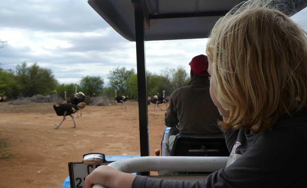 safari-ostrich-farm-oudtshoorn-2