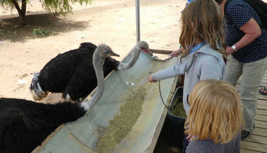 safari-ostrich-farm-oudtshoorn-3
