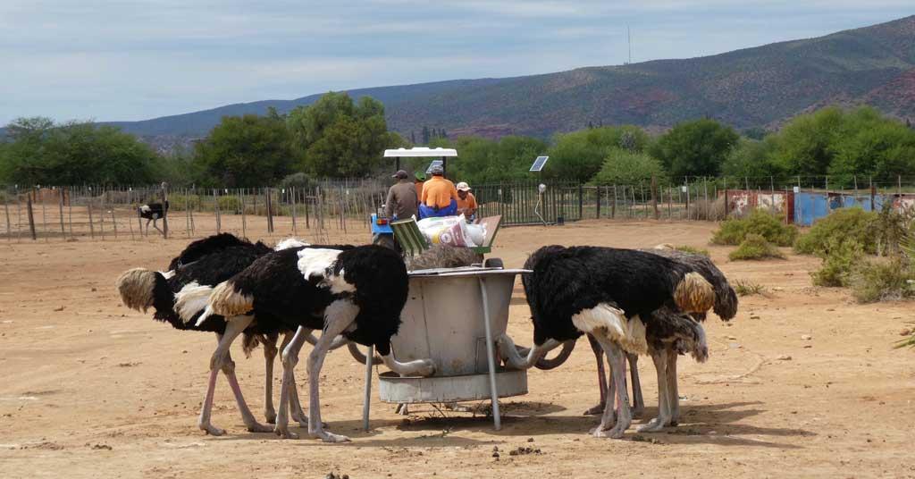 safari-ostrich-farm-oudtshoorn
