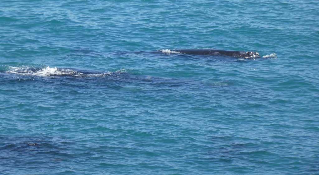 southern-right-whale-witsand-das-kinderzimmer-der-wale-6