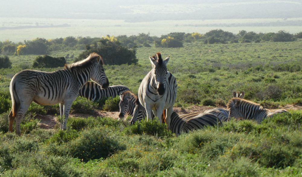 zebras-addo-elephant-park